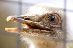 Portrait of white rhea americana Royalty Free Stock Photos