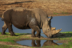 Portrait of a White Rhinoceros Royalty Free Stock Photography