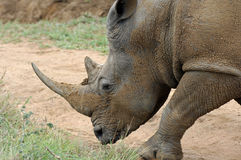 Portrait, White Rhinoceros Stock Photos