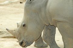 Portrait Of A White Rhinoceros Royalty Free Stock Photo