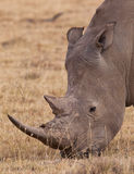 Portrait of the White Rhinoceros. A close-up of a grazing White Rhinoceros (Ceratotherium simum) at Lake Nakuru National Park, Kenya Stock Photos