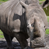 A portrait of a white rhinoceros Stock Photography