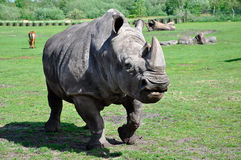 A portrait of a white rhinoceros Royalty Free Stock Photo