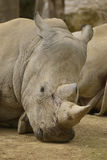 Portrait of white rhinoceros Royalty Free Stock Photography