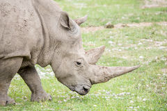 Portrait of a white rhinoceros with huge horns Stock Photography