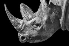 Portrait of a White rhinoceros Stock Image