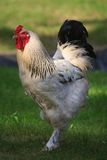 Portrait of white Rooster Royalty Free Stock Image