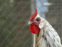 Portrait of a white rooster with a very red comb, a cockscomb, in a chicken coop made of net. stock photography