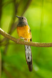 Portrait of White-rumped shama. The portrait of White-rumped shama(Copsychus malabaricus) in nature Royalty Free Stock Images