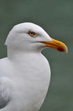 Portrait of white seagull Stock Photography