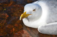Portrait of a white Seagull closeup. Portrait of a white Seagull closeup stock images