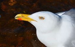 Portrait of a white Seagull closeup. Portrait of a white Seagull closeup royalty free stock photos