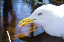 Portrait of a white Seagull closeup. Portrait of a white Seagull closeup stock photography