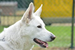 Portrait of white shepherd dog. Focused white german shepherd dog Stock Photography