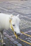 Portrait of white shetland pony with long mane.  Royalty Free Stock Photos