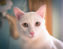 Portrait white siamese cat focus on the eyes, vintage or retro color toned Royalty Free Stock Images