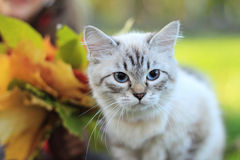 Portrait of white Siamese kitten with blue eyes Royalty Free Stock Images