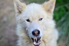 Portrait of the White Siberian Samoyed husky dog with heterochromia a phenomenon when the eyes have different colors in the day. Time outdoors royalty free stock photos