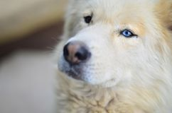 Portrait of the White Siberian Samoyed husky dog with heterochromia a phenomenon when the eyes have different colors in the day. Time outdoors stock photography