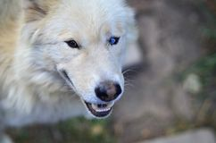 Portrait of the White Siberian Samoyed husky dog with heterochromia a phenomenon when the eyes have different colors in the day. Time outdoors Royalty Free Stock Image