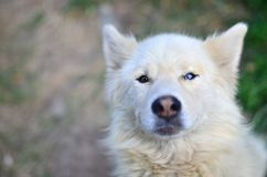 Portrait of the White Siberian Samoyed husky dog with heterochromia a phenomenon when the eyes have different colors in the day. Time outdoors Stock Photos