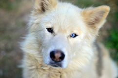 Portrait of the White Siberian Samoyed husky dog with heterochromia a phenomenon when the eyes have different colors in the day. Time outdoors Royalty Free Stock Images