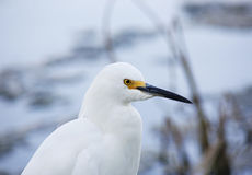 portrait of white snow egret on nature background Royalty Free Stock Images