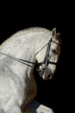 Portrait of the white sport horse. Portrait of the white sport dressage horse Royalty Free Stock Images