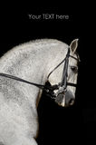 Portrait of the white sport horse Stock Photography