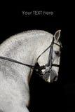 Portrait of the white sport horse. Portrait of the white dressage sport horse Stock Photography