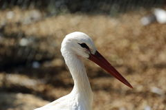 Portrait of the white stork closeup on a summer day Stock Images