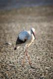 Portrait of a white stork Stock Photos