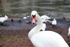 Portrait of white swan Stock Photo