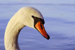 Portrait of white swan Stock Images