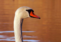 Portrait of white swan Stock Photography