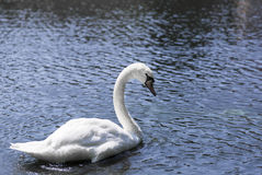 Portrait of a white Swan. Royalty Free Stock Photo