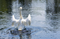 Portrait of a white Swan. Royalty Free Stock Image