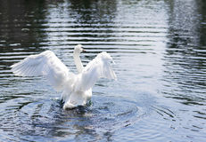 Portrait of a white Swan. Royalty Free Stock Images