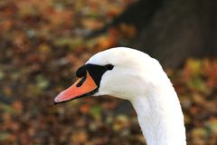 Portrait of a white swan. Head of a white swan close-up Royalty Free Stock Image