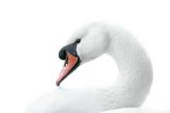 Portrait of white swan Royalty Free Stock Photo