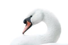 Portrait of white swan Royalty Free Stock Photo