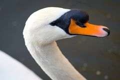 Portrait of a white Swan with an orange beak, close-up.  Stock Images