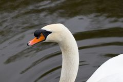 Portrait of a white Swan with an orange beak, close-up.  Royalty Free Stock Image