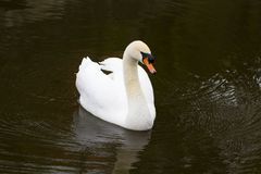 Portrait of a white Swan with an orange beak, close-up.  Stock Photos
