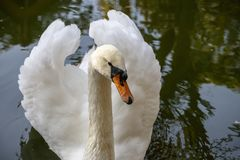 Portrait of a white swan on the water of the autumn pond. Close-up Stock Photos