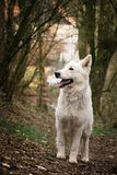 Portrait of white swiss shepherd dog and looking at his handler. Portrait of white swiss shepherd dog, who is standing in deep forest and looking at his handler stock photos