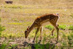 Portrait of white-tailed deer fawn Odocoileus virginianus. Portrait of the white-tailed deer fawn Odocoileus virginianus Royalty Free Stock Photo