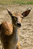 Portrait of white-tailed deer fawn Odocoileus virginianus Royalty Free Stock Photo