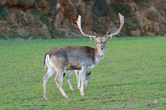 Portrait of white tailed deer Stock Photography