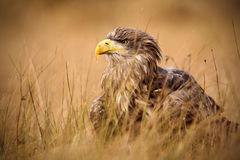 Portrait of White-tailed Eagle, Haliaeetus albicilla, sitting in the brown grass stock images